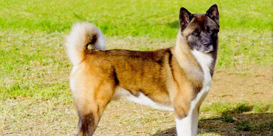 local Akita kennel in Rahway
