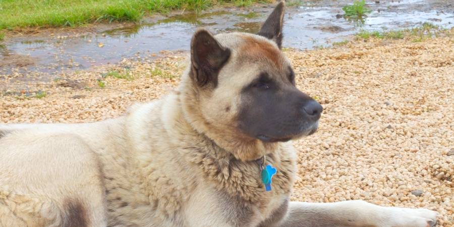 local Akita  in Port Orchard