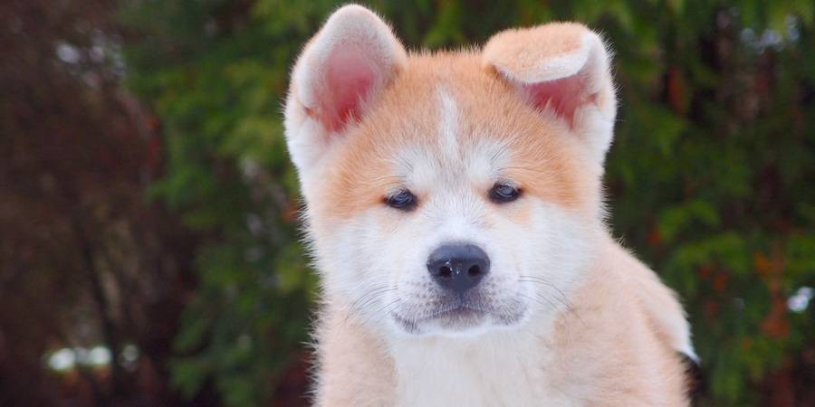local Akita kennel in Sherwood