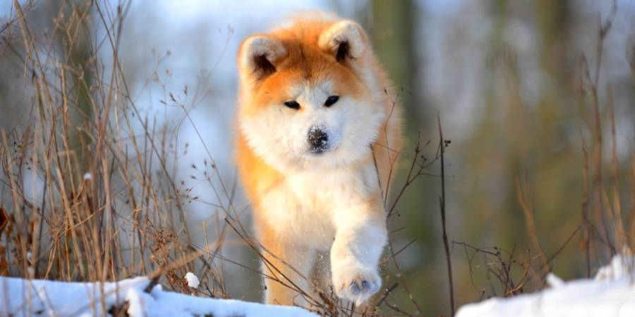 local Akita kennel in Washington