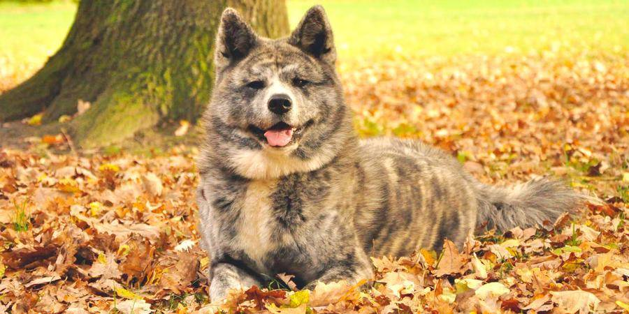 local Akita  in Austintown