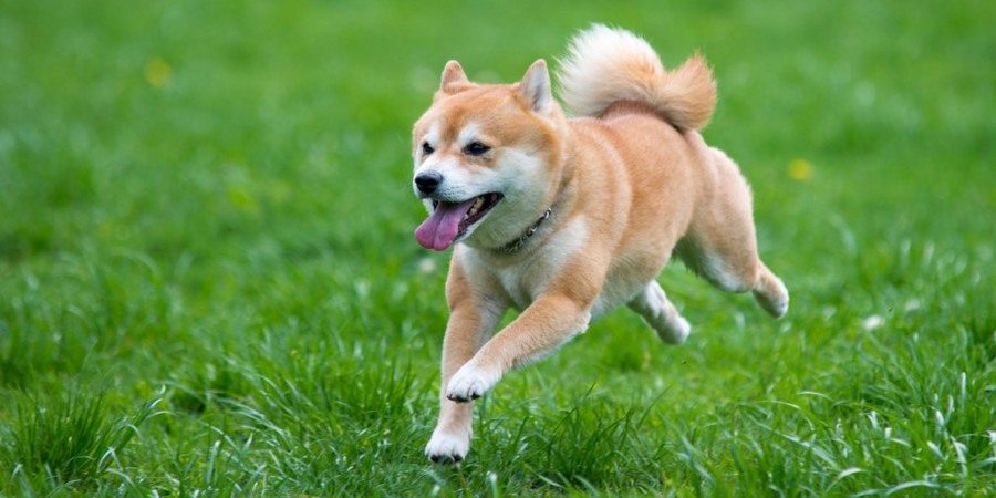 Jumping dog Akita