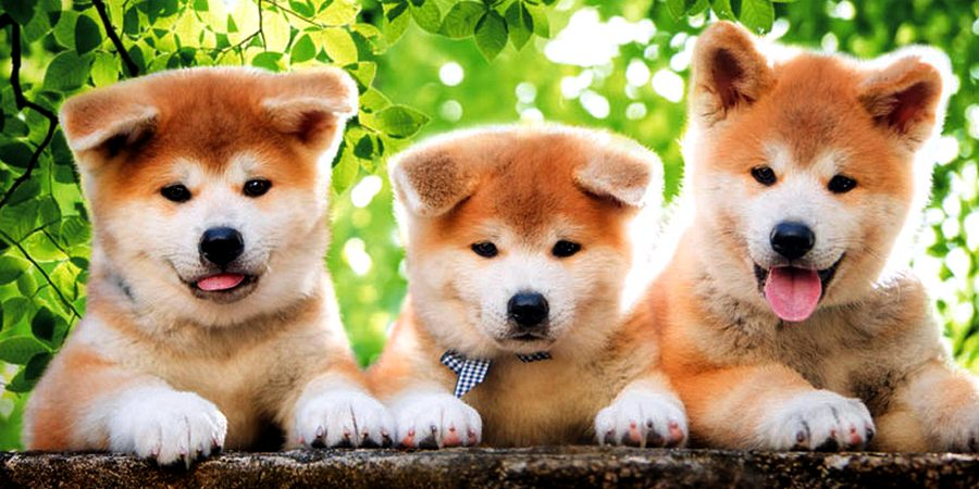 Akitas puppies