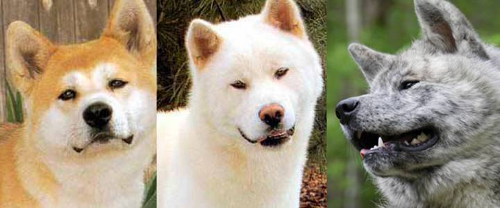 Akita Colors And Patterns