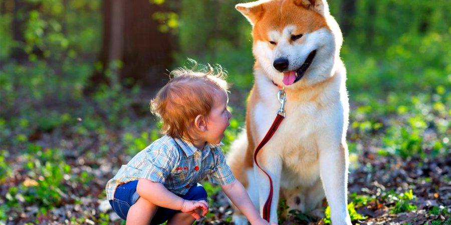 Akita with child