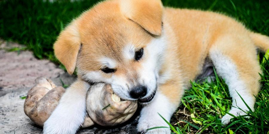 Caring For Akita Puppies is Easy